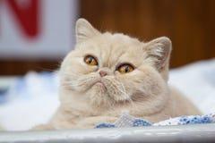 Röd katt med den stora ögoncloseupen Arkivfoto