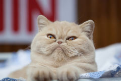 Röd katt med den stora ögoncloseupen Royaltyfria Bilder