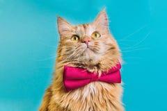 Röd katt med främre sikt för rosa bowtie fotografering för bildbyråer