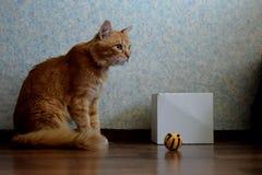 Röd katt och hans favorit- leksak arkivfoto