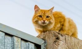 Röd katt på ett staket royaltyfri foto