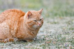 Röd katt på gatan som värma sig i solen fotografering för bildbyråer