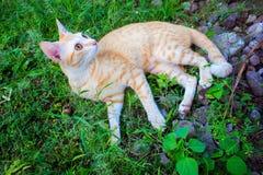Röd katt på grönt gräs Älskvärd ljust rödbrun katt utanför i sommarträdgård Royaltyfri Fotografi