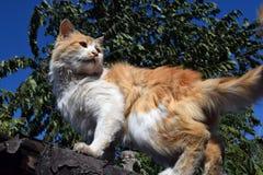 Röd katt på taket Royaltyfri Bild
