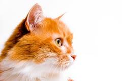 Röd katt på vit Arkivbild