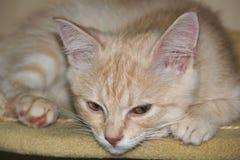 Röd katt, persikakatt, gullig kattunge arkivbild