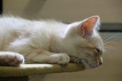 Röd katt, persikakatt, gullig kattunge Arkivbilder