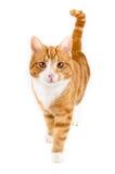 Röd katt som går in mot kameran som isoleras i vit Royaltyfri Fotografi