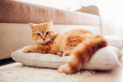 Röd katt som hemma ligger på kudden arkivbild