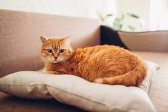 Röd katt som hemma ligger på kudden på soffan royaltyfri bild