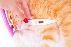 Röd katt som ligger med en termometer Begreppet av veterinär- och djurhälsa Royaltyfri Bild