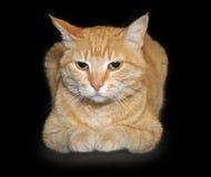 Röd katt som ligger på en svart bakgrund Fotografering för Bildbyråer