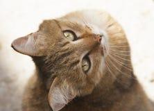 Röd katt som ser det uppmärksamma ögat Arkivbilder