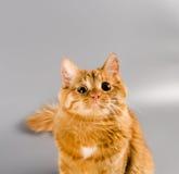 Röd katt som ser i huvudrollen i den förvånade kameran Arkivbild