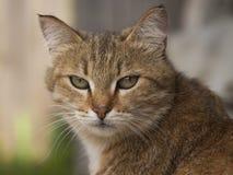 Röd katt som ser uppmärksam blick in i avståndet Royaltyfria Bilder