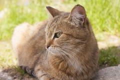 Röd katt som ser uppmärksam in i avståndet Arkivfoto