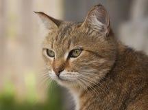 Röd katt som ser uppmärksam in i avståndet Arkivbild