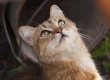 Röd katt som ser uppmärksam på rov Royaltyfri Fotografi