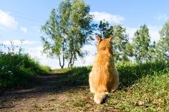 Röd katt som tillbaka sitter till kameran på vägen Arkivfoto