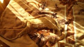 Röd katt som ut sträcks på sängen royaltyfri bild