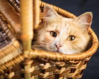 Röd katt som vilar i en vide- korg Arkivbilder