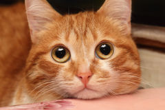 Röd kattcloseup Arkivfoto