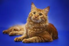 Röd kattmaine tvättbjörn på studiobakgrund Arkivbilder