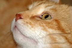 Röd kattnärbild för nos Arkivfoto