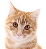 Röd kattstående på vit bakgrund Arkivfoto