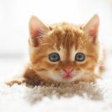 Röd kattunge Royaltyfria Foton