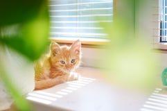 Röd kattunge Fotografering för Bildbyråer