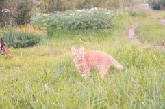 Röd kattunge som ser till sidan Arkivbild