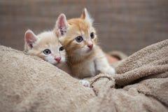 Röd kattunge två Fotografering för Bildbyråer
