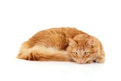 Röd kattuppmärksamhet som ligger ner isolerat på vit Arkivbild