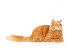 Röd kattuppmärksamhet som ligger ner isolerat på vit Arkivfoton