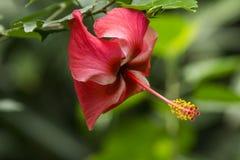 Röd kinesisk hibiskus på Twin Falls Maui arkivbild