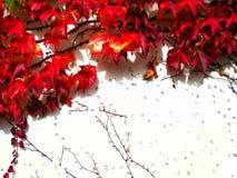 Röd klättringväxt på den vita väggen i höst arkivfoto