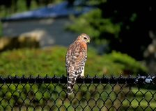 Röd knuffad Hawk Buteo lineatus royaltyfri bild