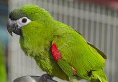 Röd-knuffad Macaw fotografering för bildbyråer