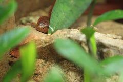 Röd kobra Arkivbild