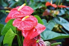 Röd kolvblomma i trädgården för suddighetsbakgrund Royaltyfri Foto