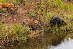 Röd konflikt för räv- och silverräv (Vulpesvulpes) Arkivfoto