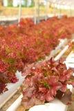 Röd korallgrönsak royaltyfria bilder