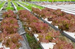 Röd korallgrönsak Royaltyfri Fotografi