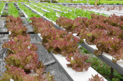 Röd korallgrönsak Arkivfoton