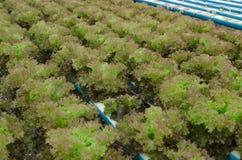 Röd korallgrönsak Fotografering för Bildbyråer