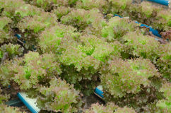 Röd korallgrönsak Arkivfoto