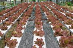 Röd korallgrönsak Royaltyfri Bild