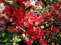 Röd kräppmyrten Royaltyfria Foton