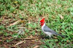 Röd-krönad huvudsaklig sångfågel i Hawaii Fotografering för Bildbyråer